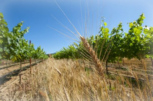 Large_organic_vineyard