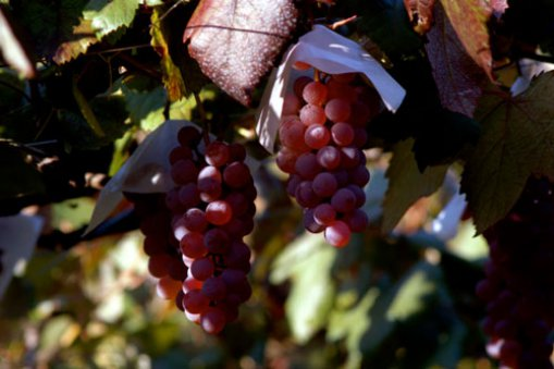 Large_koshu_grape