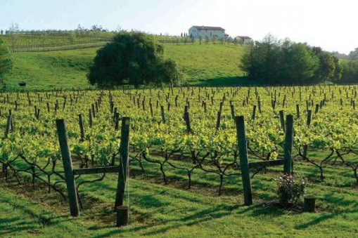 Large_antinori_vines